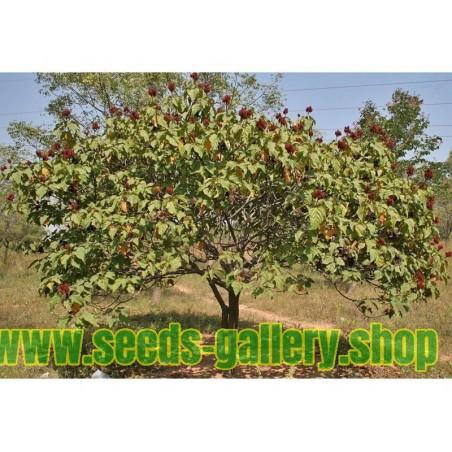 Annattoträd eller Achiote Frö (Bixa orellana)