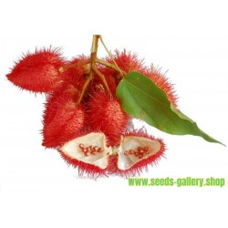 Annatto, Lipstick Tree Seeds (Bixa orellana)