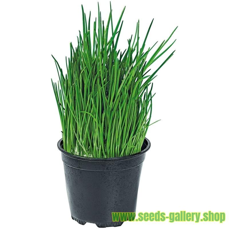 Chinesischer Schnittlauch Samen (Allium tuberosum)