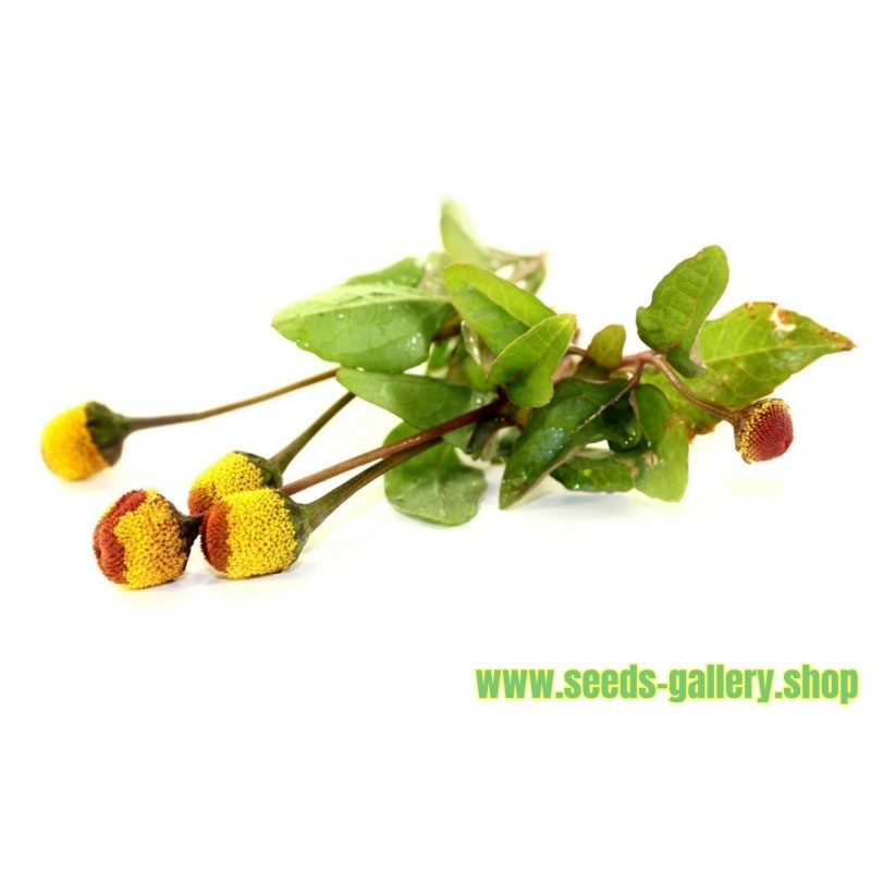 Lingonberry or Cowberry Seed