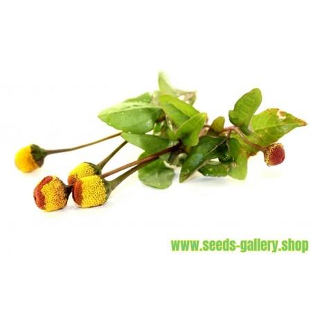 Parakrasse Frön (Acmella oleracea)