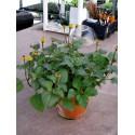 Weiße Sesam Samen (Sesamum indicum)