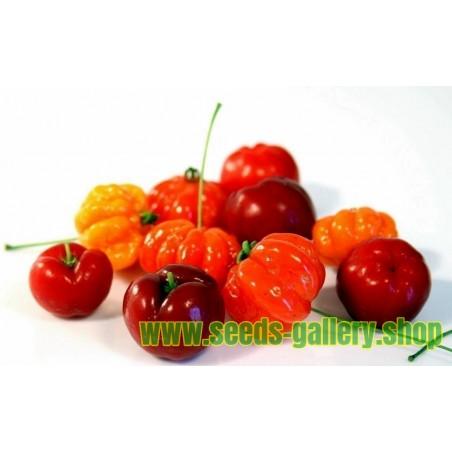 ΣΠΟΡΟΙ Ασερόλα (Malpighia glabra)