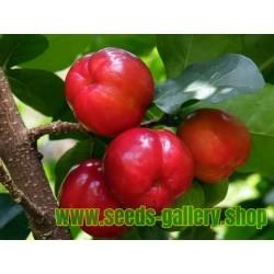 Barbadoskörsbär eller Acerola Frön (Malpighia glabra) tropisk frukt