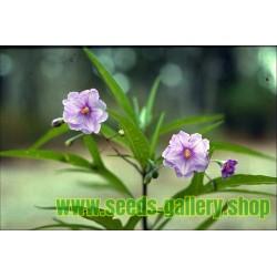 Semillas de Poroporo, Kohoho o Bullibulli (Solanum laciniatum)