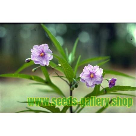 Känguruhapfel, Poroporo Samen (Solanum laciniatum)