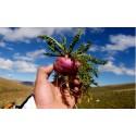 Eggplant Seeds GREEK TSAKONIKI