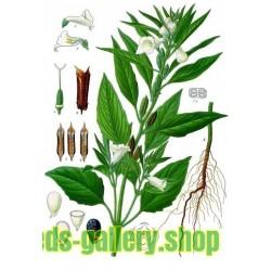 Sementes de SÉSAMO ou GERGELIM Branco (Sesamum indicum)