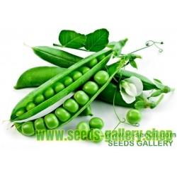 Kleine Rheinländerin Pea Seed (Pisum sativum)
