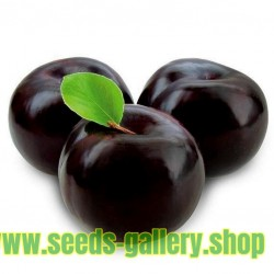 Μαύρο δαμάσκηνο BLACK BEAUTY σπόρους