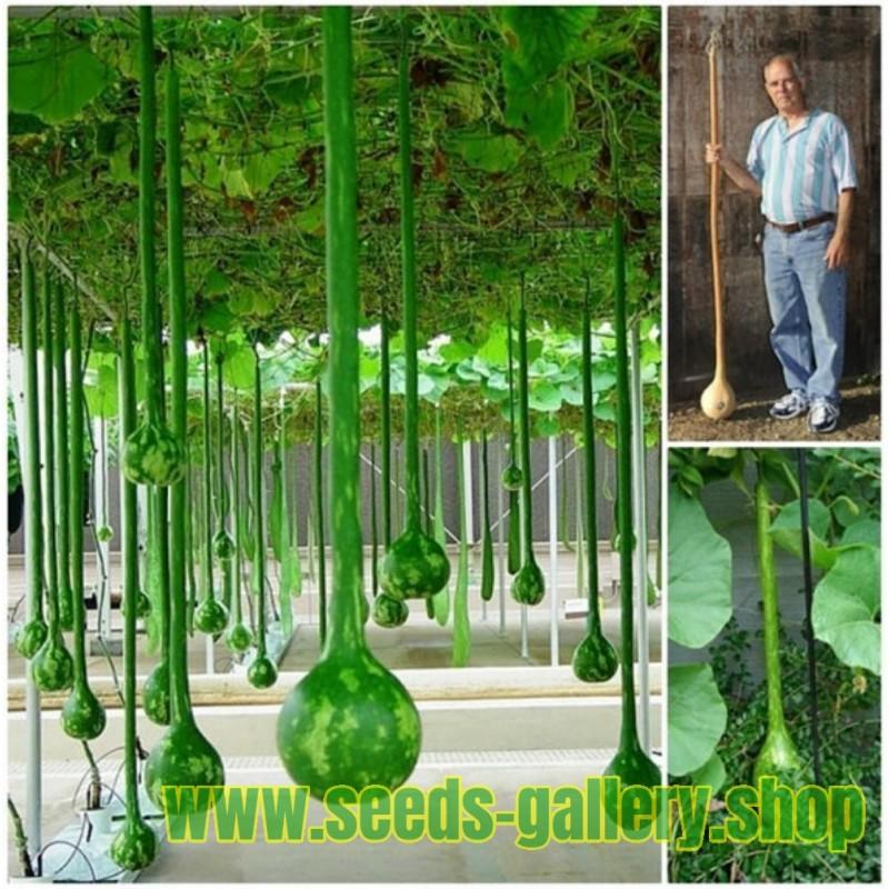 Gemüse Zichorie Variegata Di Castelfranco Ca 700 Samen