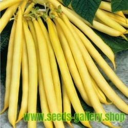 Bohnensamen Buschbohnen Berggold, fadenlos