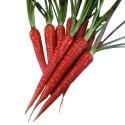 Röd Morot 'Atomic Red' Frön