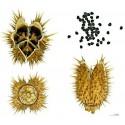 Kleine Strahlenaralie Samen (Schefflera arboricola)