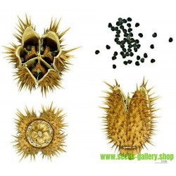 Jimson weed Seeds or Devil's snare (Datura stramonium)