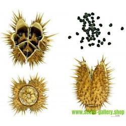 Spikklubba Frö (Datura stramonium)