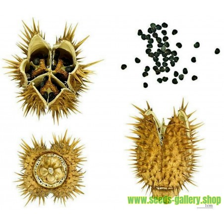 Sementes de figueira-do-demo, figueira-do-diabo (Datura stramonium)