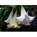 Semillas de Cheflera (Schefflera arboricola)