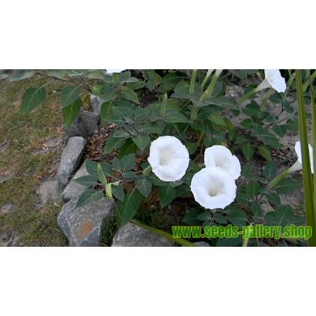 Gemeine Stechapfel Samen - Weiße Stechapfel (Datura stramonium)