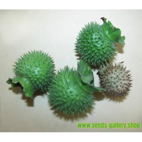 Jimson weed Seeds or Devil's snare (Datura stramonium)