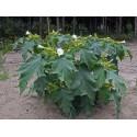 Ronde De Valence Eggplant Seeds