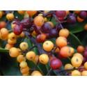 Graines de Souchet comestible (Cyperus esculentus)