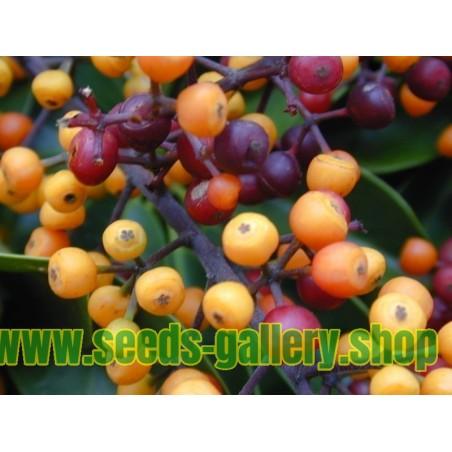 Graines de Arbre ombrelle (Schefflera actinophylla)