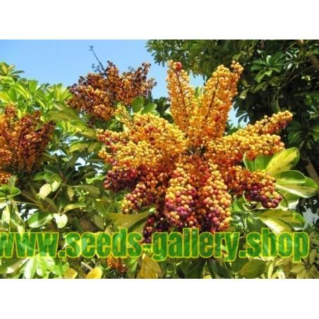 Seflera Seme (Schefflera arboricola)