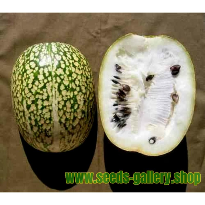 Ginkgo oder Ginko Samen (Ginkgo biloba)