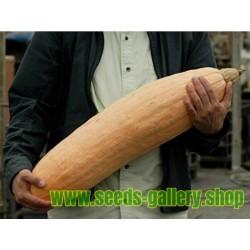 Jättepumpa - Squash Fröer Jumbo Pink Banana