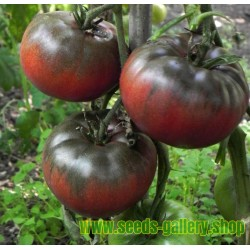 Sementes de tomate BLACK FROM TULA