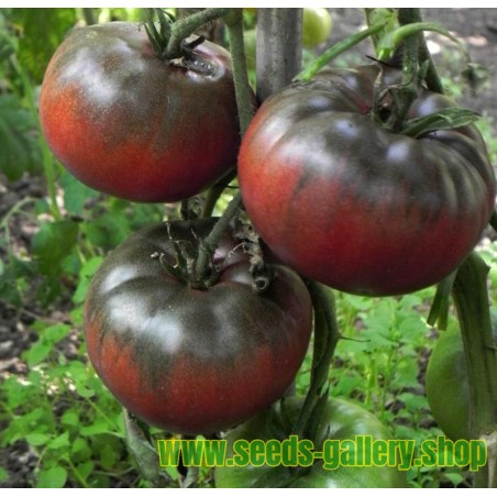 Graines Tomate noire BLACK FROM TULA