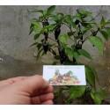 Semillas de Digitalis Purpurea Alba