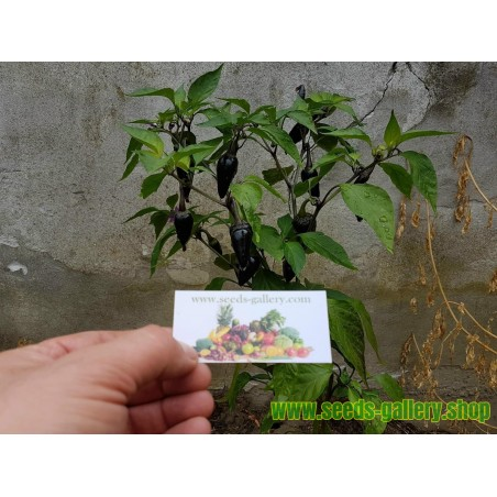 Purple Serrano Tampiqueno Chili Seme