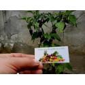 Graines de Houblon (Humulus lupulus)