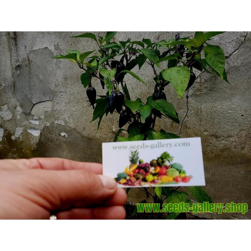 Humle Frön (Humulus lupulus)
