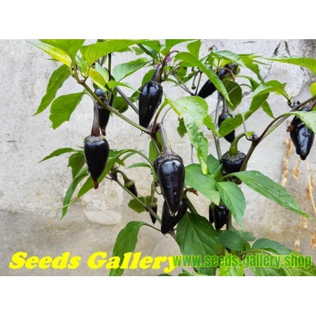 Purple Serrano Chilli Seeds