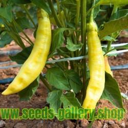 AJI AMARILLO Chili Samen Super Ertrag - Riesen Früchte