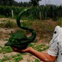 Hot Chilli Pepper Seeds CALORO (Capsicum annuum)