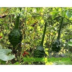 Heirloom Dinosaur Maranka Gourd Seeds - Caveman's Club Gourd