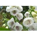 Digitalis purpurea 'Alba' Seeds