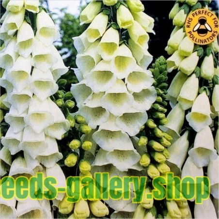 Digitalis purpurea 'Alba' Seeds