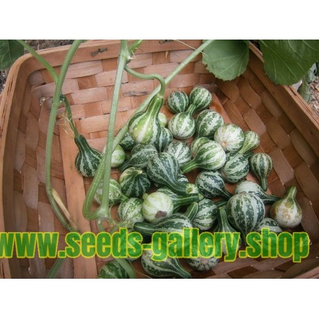 Kürbissamen - Dancing Gourd, Spinning Gourd (Cucurbita pepo)
