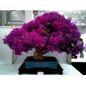 Σπόροι Φυτολάκα η αμερικανική (Phytolacca americana)