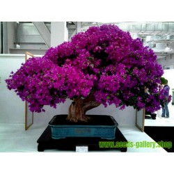 Bougainvillea - Drillingsblume Violett und Rot Samen