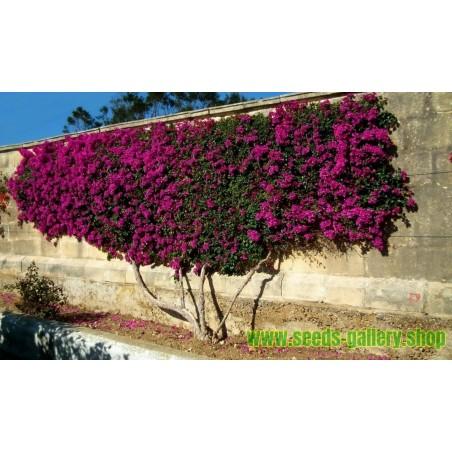 Σπόροι Ficus benghalensis δέντρο
