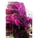 Sementes de Phyllanthus Emblica