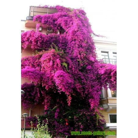 Semi Uva spina - Ribes Grossularia