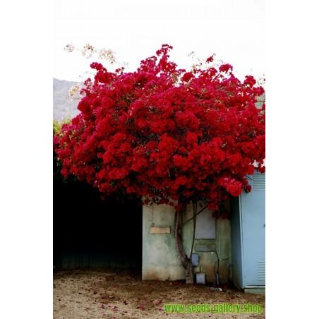 Frön Phyllanthus Emblica indiska Krusbär Amla