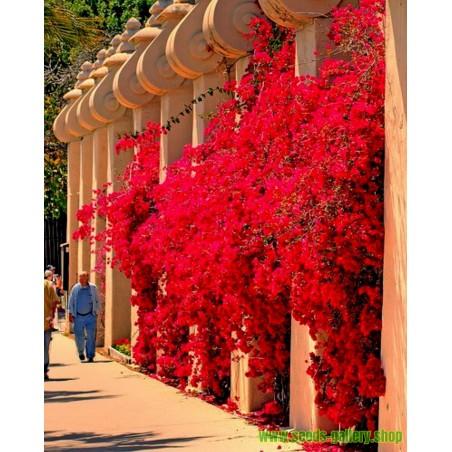 Sementes De Flores Bougainvillea Violeta e Vermelho